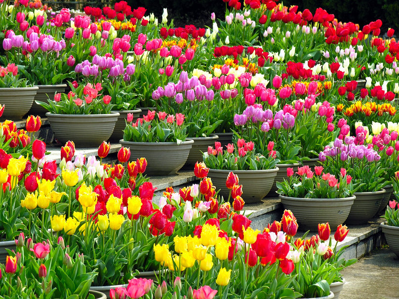 486664__colourful-tulips-in-pots_p