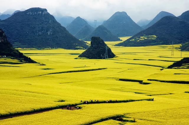 el oceano de flores de oro de Luoping 4