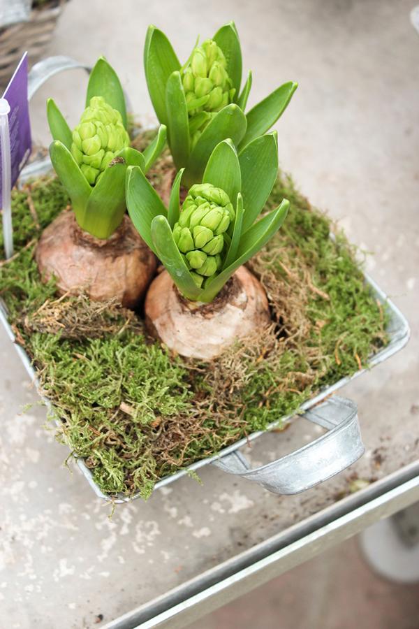 brotes en maceta Las flores de los jacintos marzo, en forma de racimos. Todas ellas del mismo color.