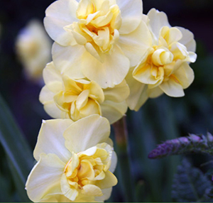 Narcissus Yellowcheerful
