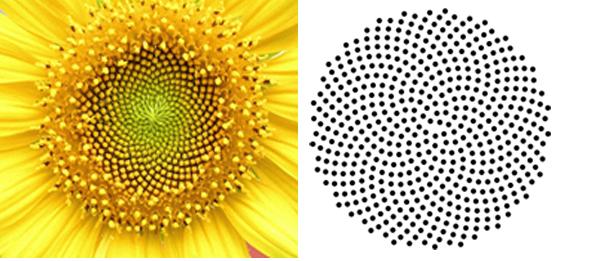 Girasol - esquema espiral de Fermat, . Wikipedia