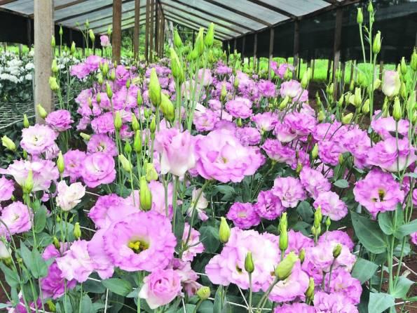 Cultivo de lisianthus en invernadero- ww. abc.com. jpg
