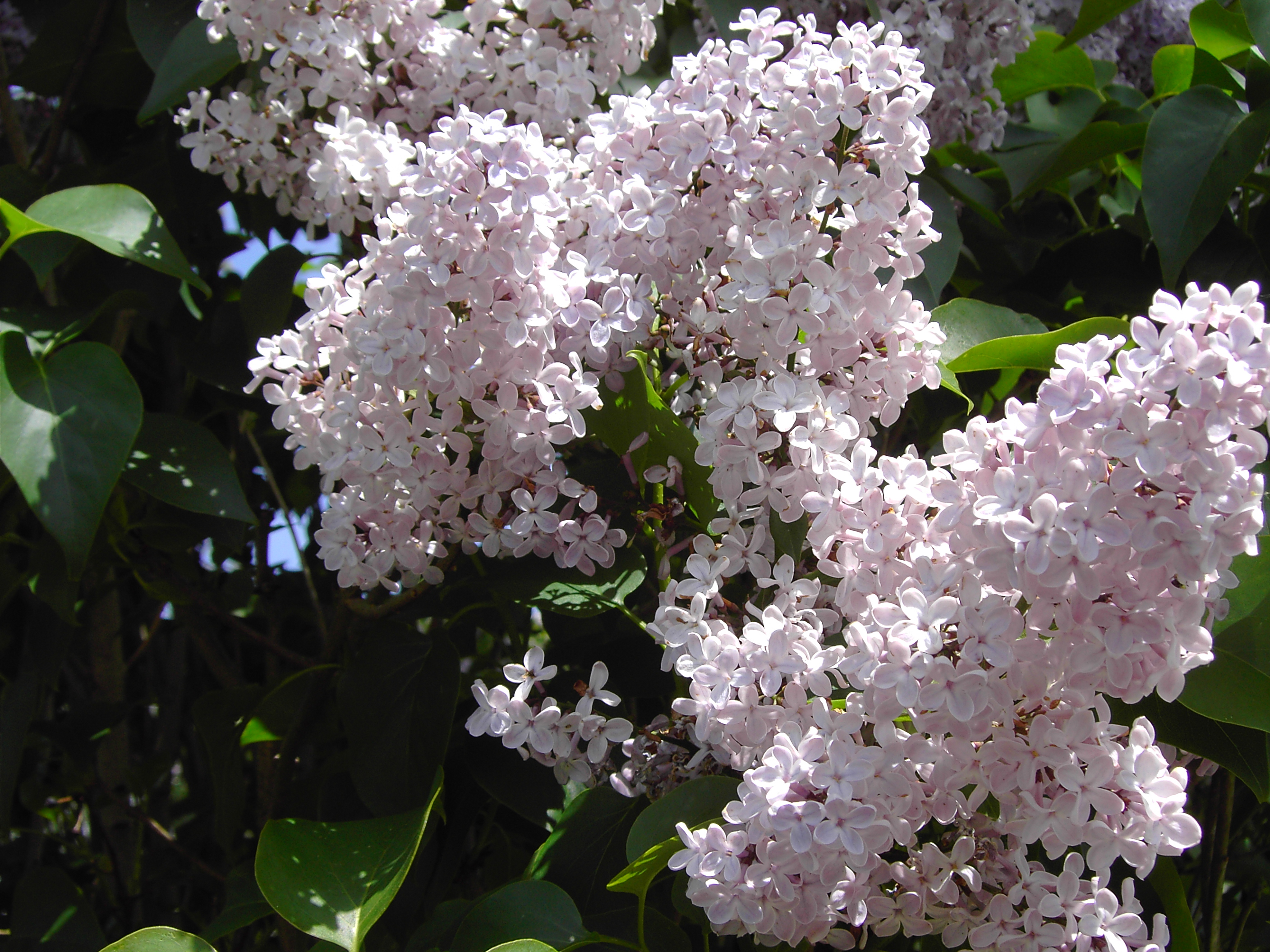 Lilas blancas - google.Digital Still Camera