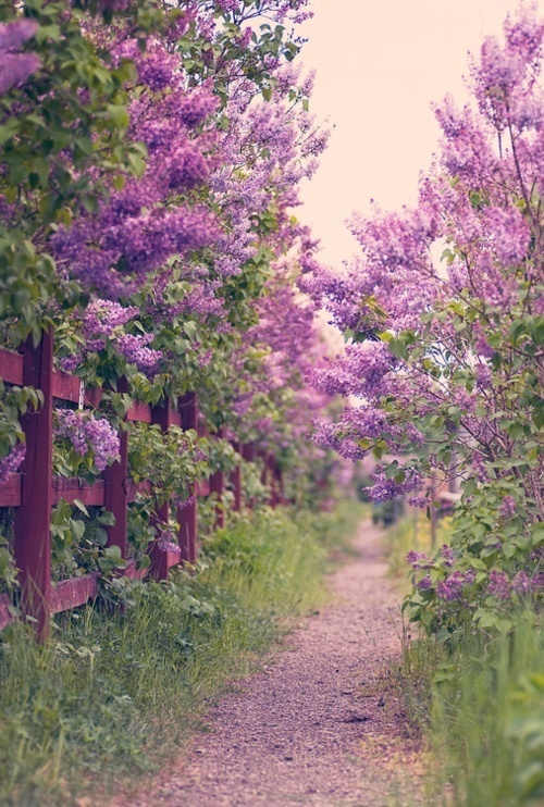 Sendero con lilos rosas. Imagen Google.