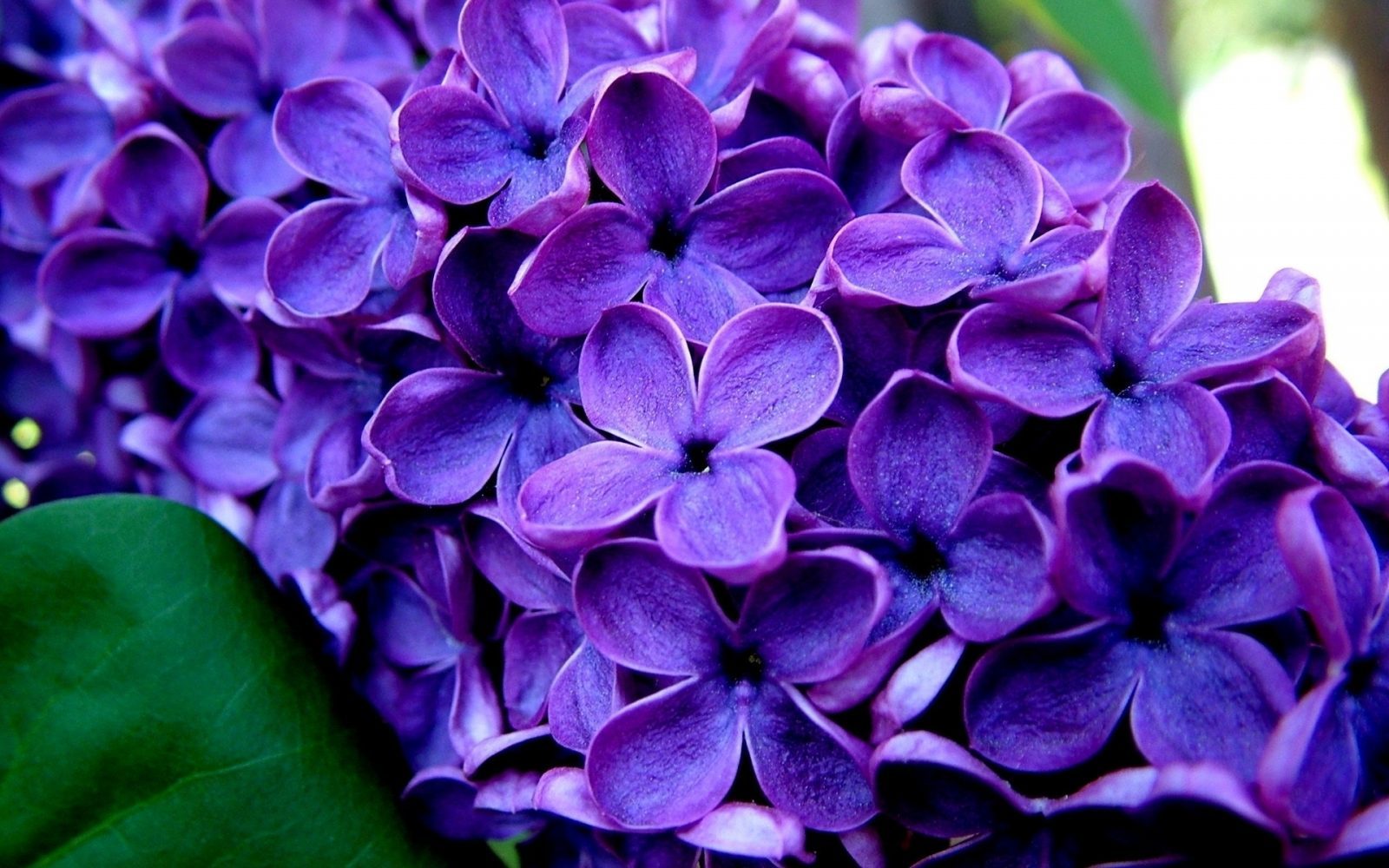 lilas púrpura,