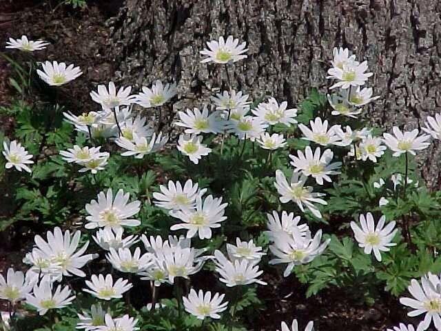 Anemona Mar de flores